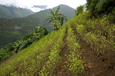 A coca field