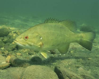 Smallmouth bass2