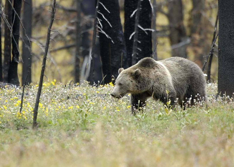 Girzzly bear