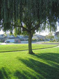 Shade tree