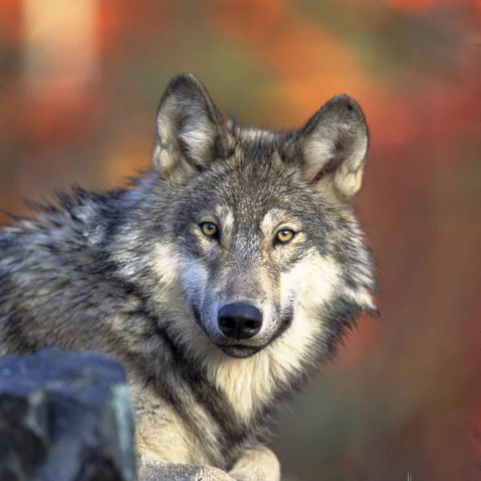 Gray wolf2