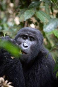 UgandaGorilla