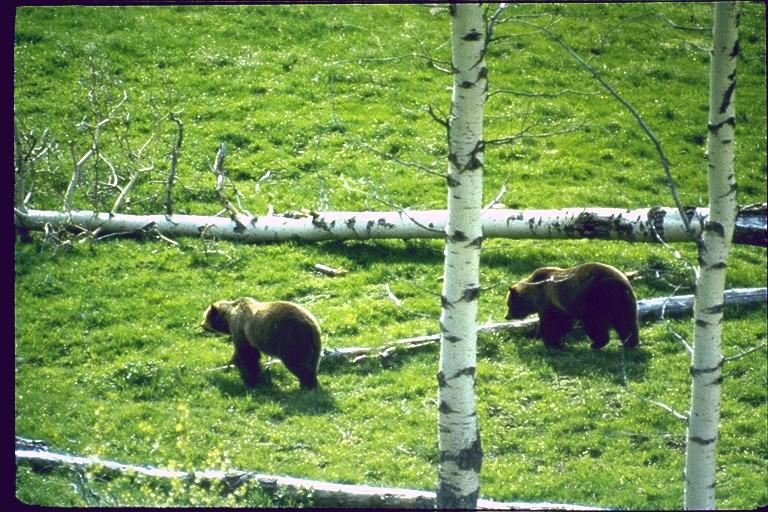 Girzzly bear2