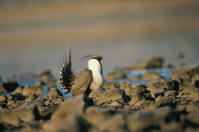 Sagegrouse