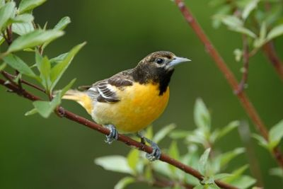 Shade grown coffee is better for migrating birds like the oriole