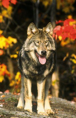 Gray Wolf 015[1]
