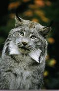 Canada_Lynx