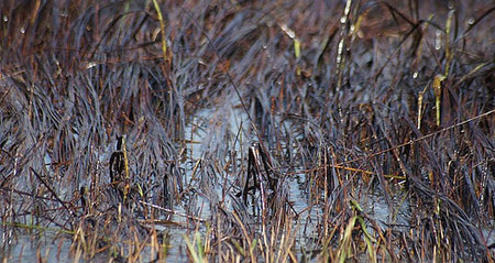 Oiled-swamp-grass