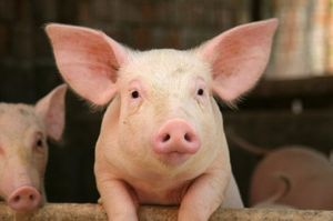 Think of this cute pig on world farm animals day tomorrow