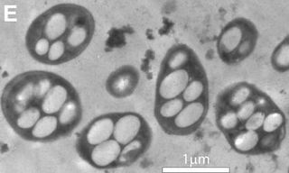 Bacteriumx-wide-community