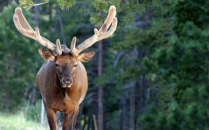 National park_elk