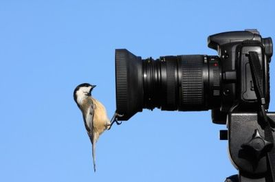 Chickadee and camera lens