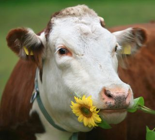 Cow with sunflower