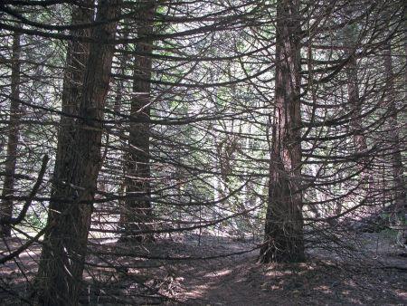 Yosemite_trees
