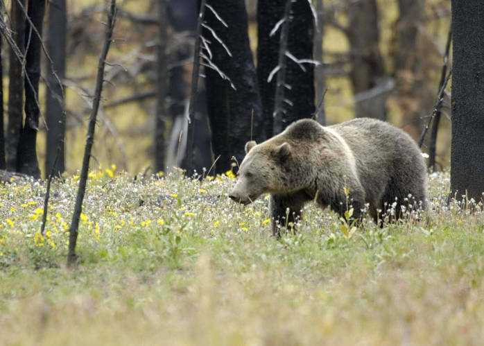 Grizzy in Yellowstone