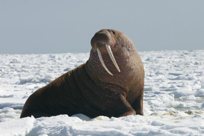 USFWS pacific walrus
