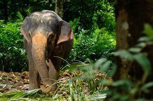 IStock_Thai elephant