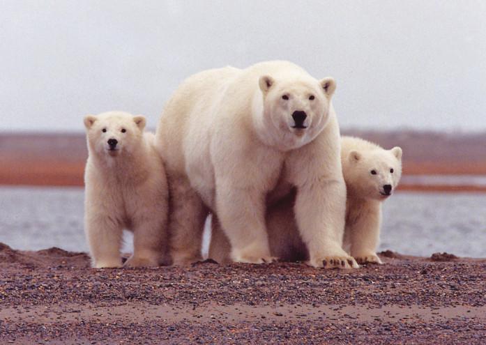 Beaufort sea polar bears USFWS