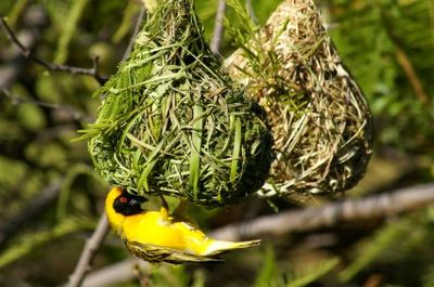 Southern masked weaver bird and nests
