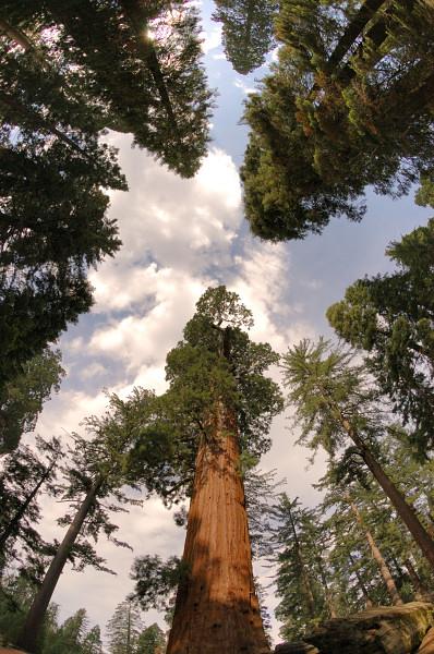 Crown of sequoias NPS