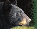 Bearbanner