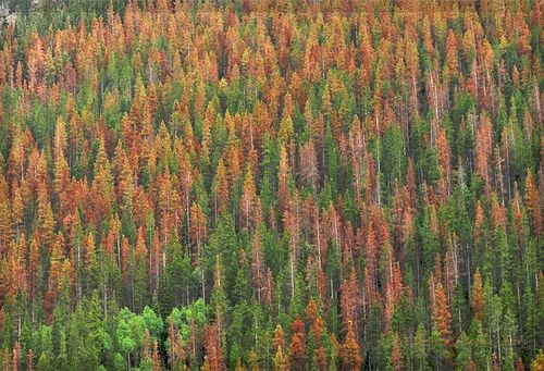 Mountain pine beetle Vicky Hamiltion via flickr