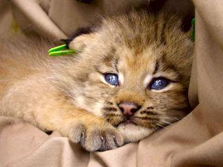 Lynxbabykj