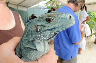 5_Julie-Larsen-Maher-0271-Grand-Cayman-Blue-Iguana-6-11.568