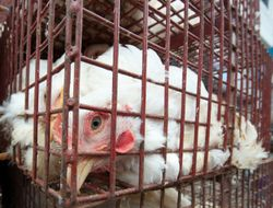Caged chicken