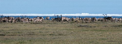 Caribou beaufort sea usfws