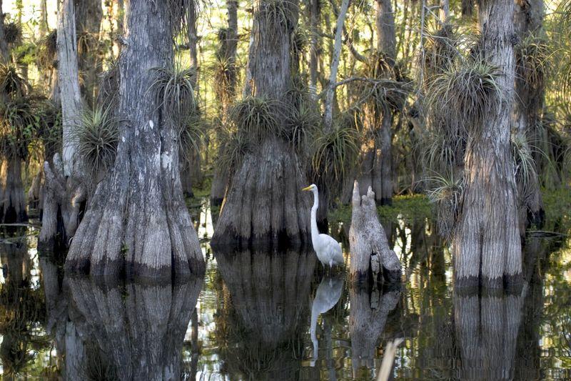 Evergladesgreategret rodney cammauf NPS