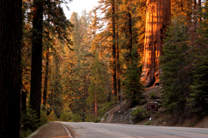 Sequoia road