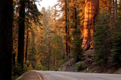 Sequoia road