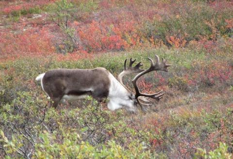 A nearby caribou