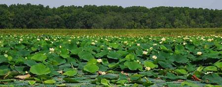 Mattawoman-Creek-wetlands