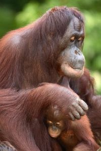 Orangutans live in forests threatened by palm oil plantations