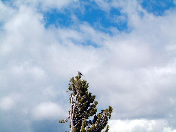 Clark's nutcracker atop whitebark USDAFS