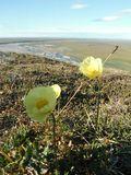 Refuge coastal plain_arctic poppy_Lindsey Hajduk