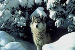 Wolf_Tracy Brooks, USFWS