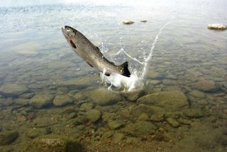 Trout dreamstime_s_15691631