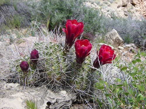 Grand Canyon claretcup cactus USNPS