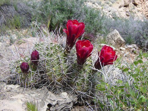 Grand Canyon claretcup cactus USNPS