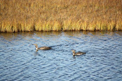 Arctic Refuge 5 loons