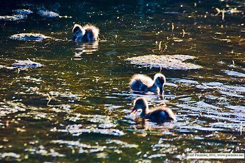 Baby Ducks, Kurt Preissler - condensed w credit