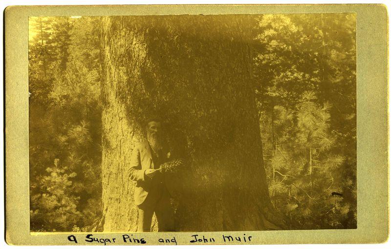 Muir, John A sugar pine and John Muir (1)