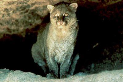 Jaguarundi1
