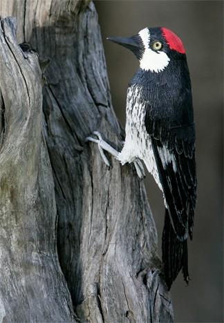 Acorn woodpecker by Aimée Baldwin