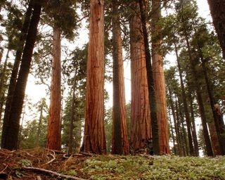 California-giant-sequoia-trees