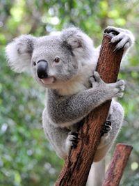Koala iStock_000014837591XSmall