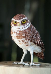 Burrowing owl  by Aimée Baldwin